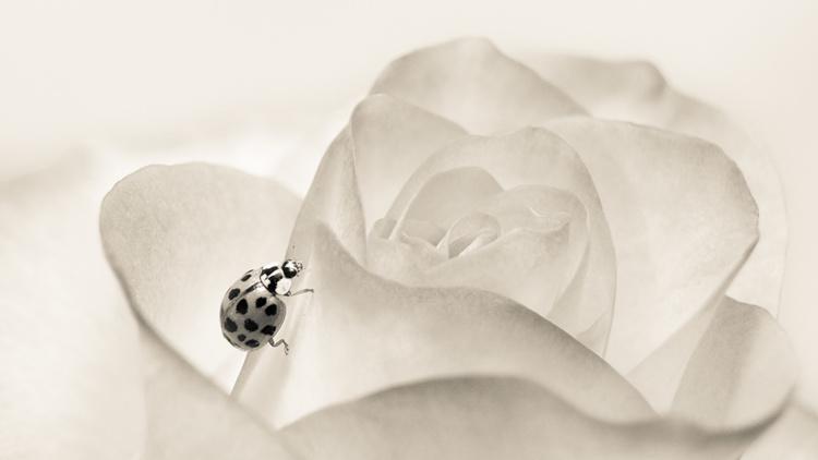 Lieveheersbeestje Ladybug