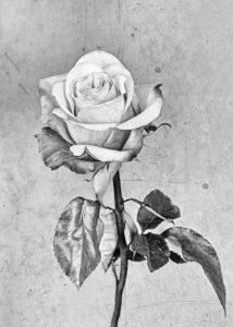 Roos Rose