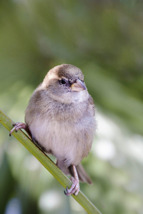 Huismus House sparrow