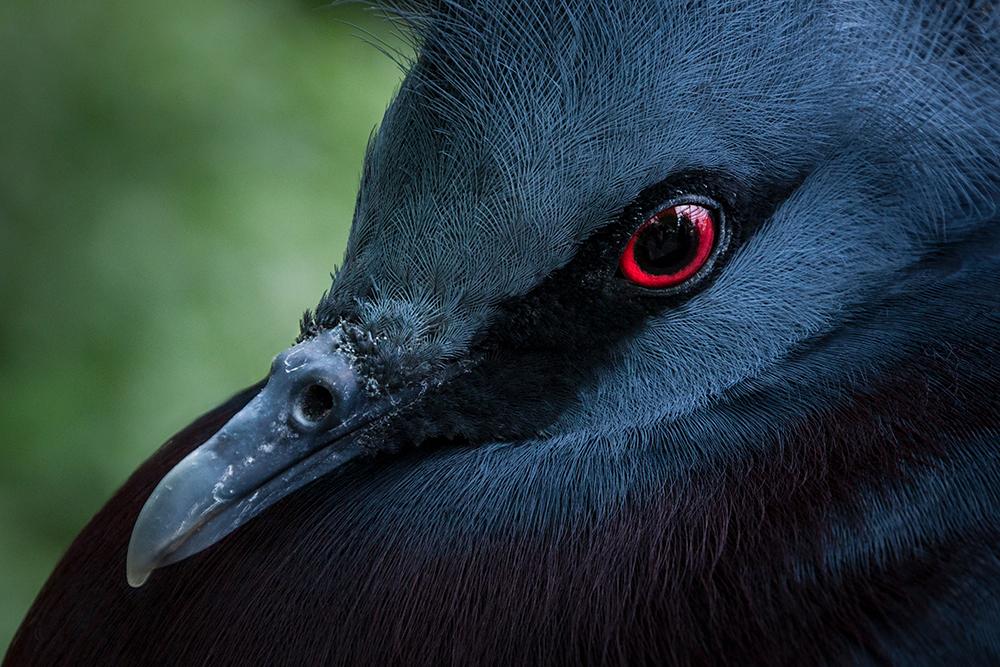 Victoria Kroonduif - Western crowned pigeon