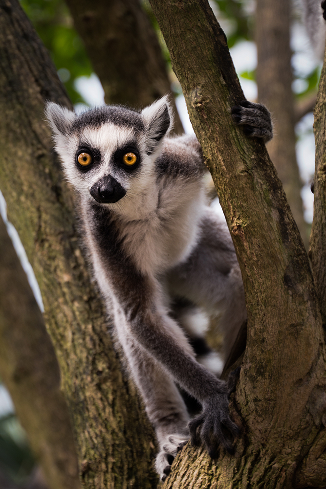 Ringstaartmaki - Ring-tailed lemur