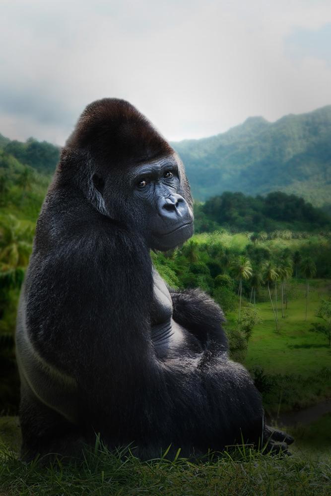 Bauwi - Gorilla