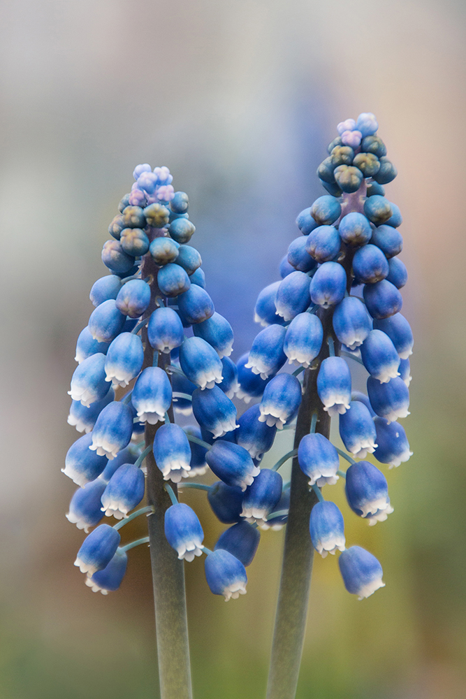 Blauwe druifjes - Grape hyacinth