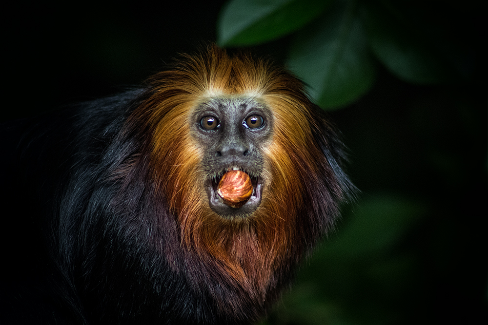 Goudkop leeuwaapje - Golden-headed lion tamarin