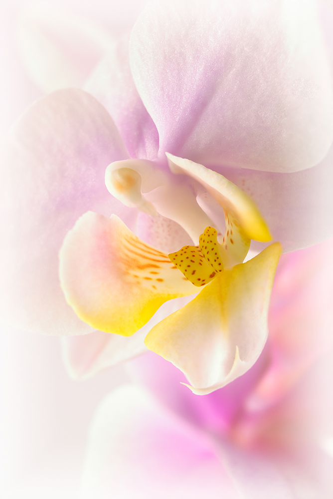 Orchid - Orchidee
