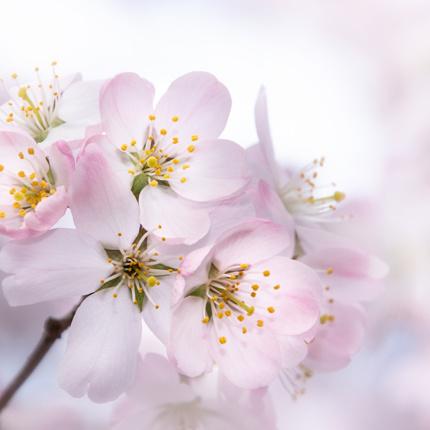Een roze boom