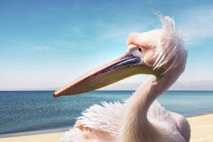 Roze pelikaan Great white pelican