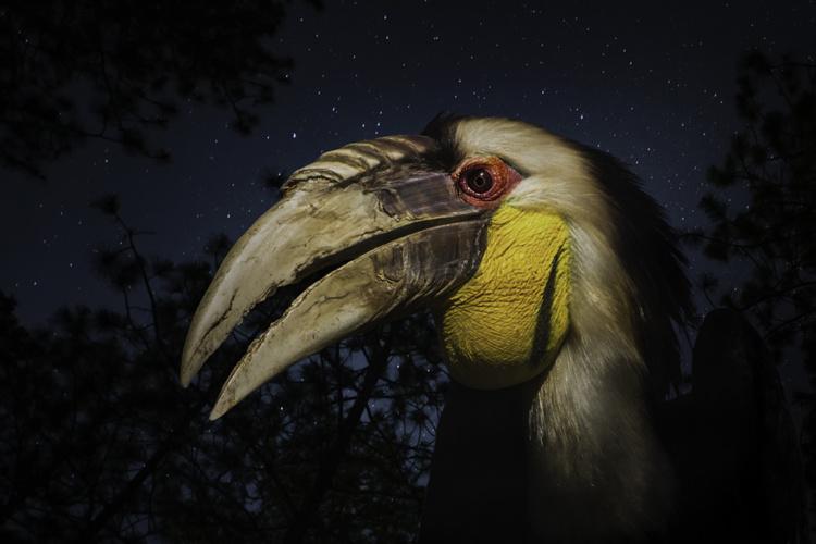 Gewone jaarvogel Wreathed hornbill