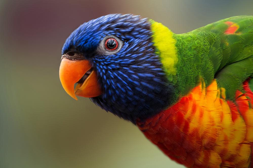Regenboog lori Rainbow lorikeet