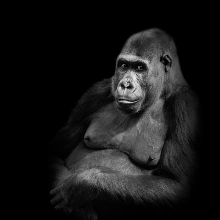 Gorilla's op zwart
