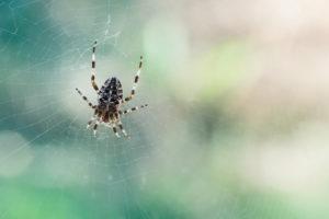 Kruisspin Garden spider
