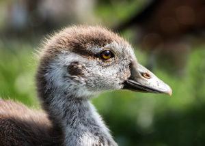 Grauwe gans Greylag goose