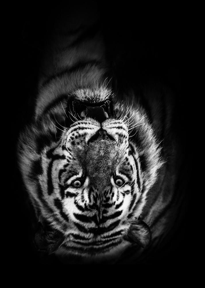 Siberische tijger Siberian Tiger