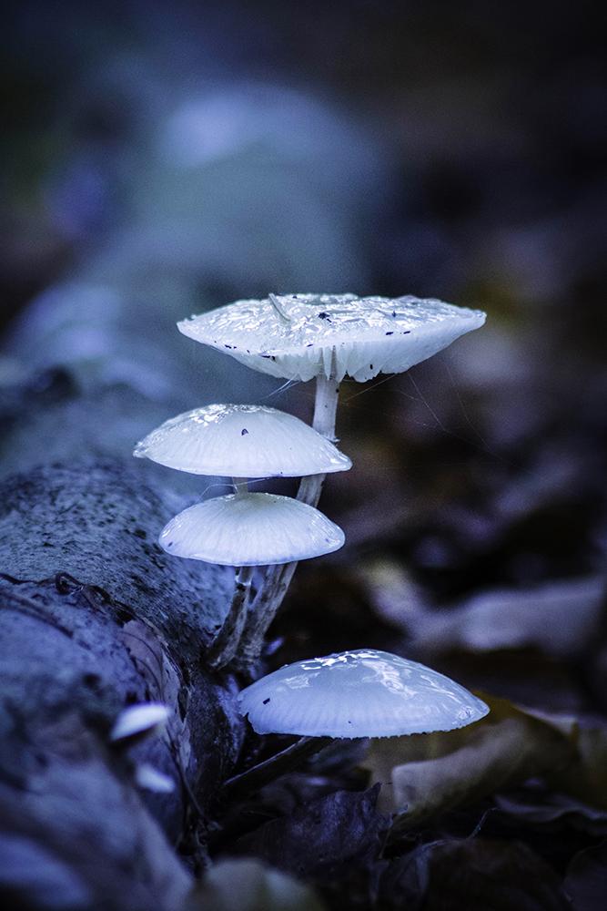 Porseleinzwam - Porcelain fungus