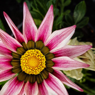 African daisies (Gazania) photo with a smartphone