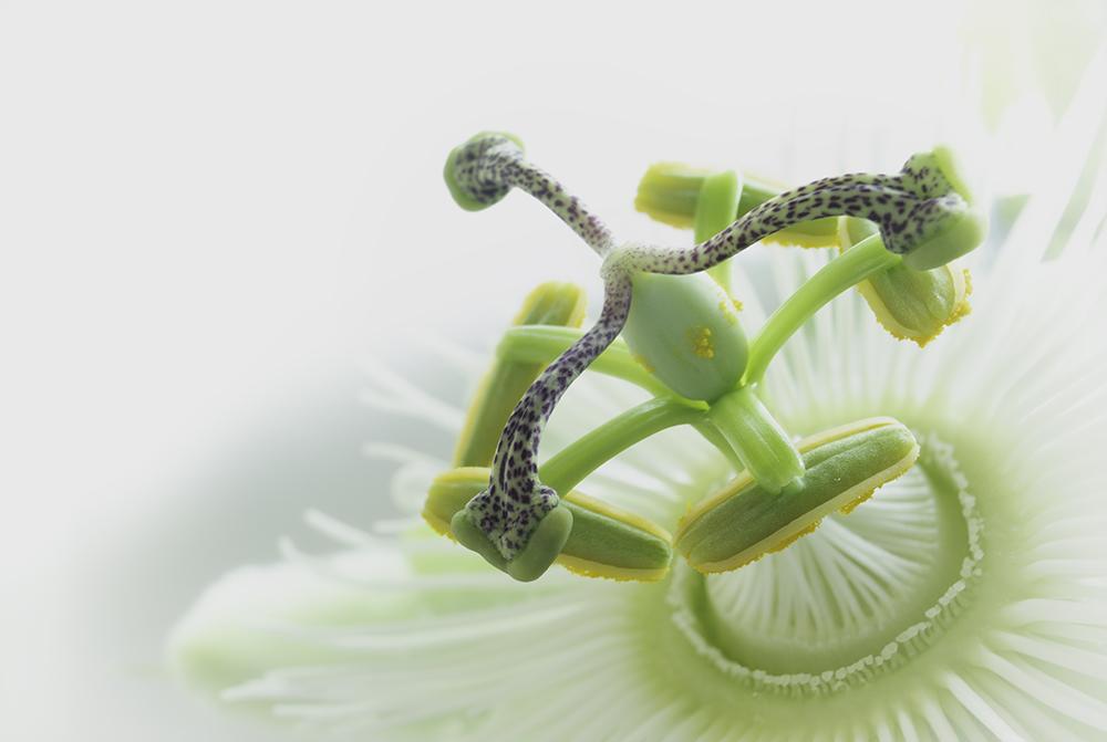 PassiebloemPassion Flower