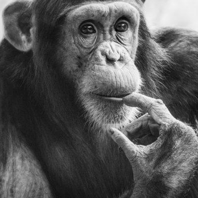 Wingu chimpansee Wingu chimpanzee