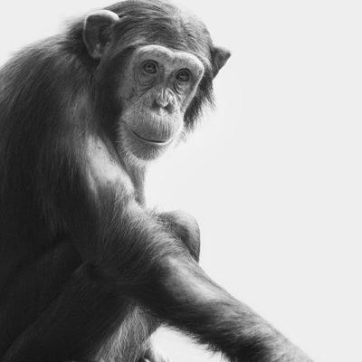 Wingu, chimpansee in Dierenpark Amersfoort