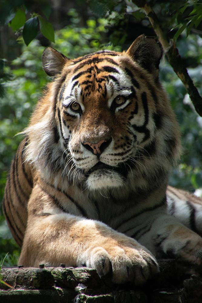 Siberische tijgerSiberian Tiger
