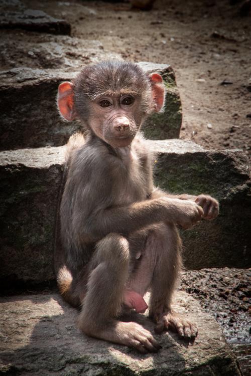 Mantelbaviaan baby