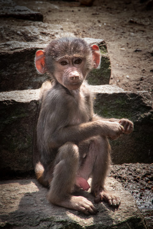 Hamadryas baboon baby