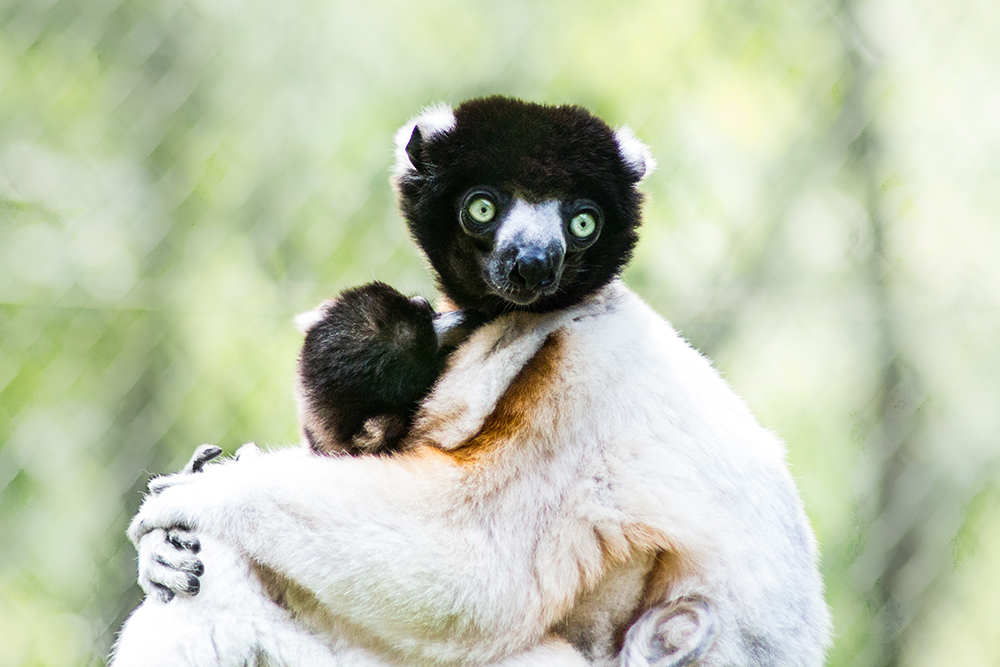Kroon sifaka