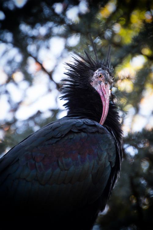 Heremiet ibis