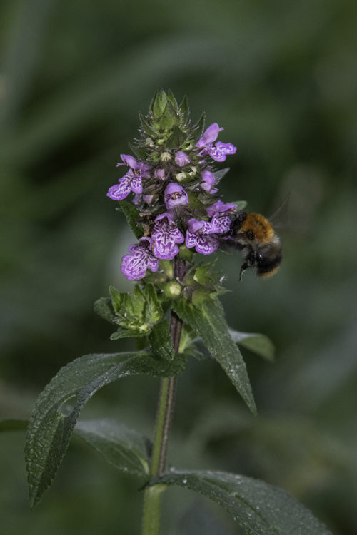Common carder bee on southern marsh orchid