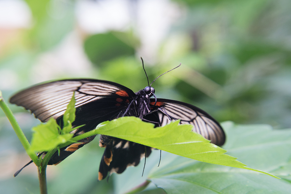 Papilio memnon alcanor