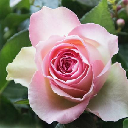 Prachtige rozen