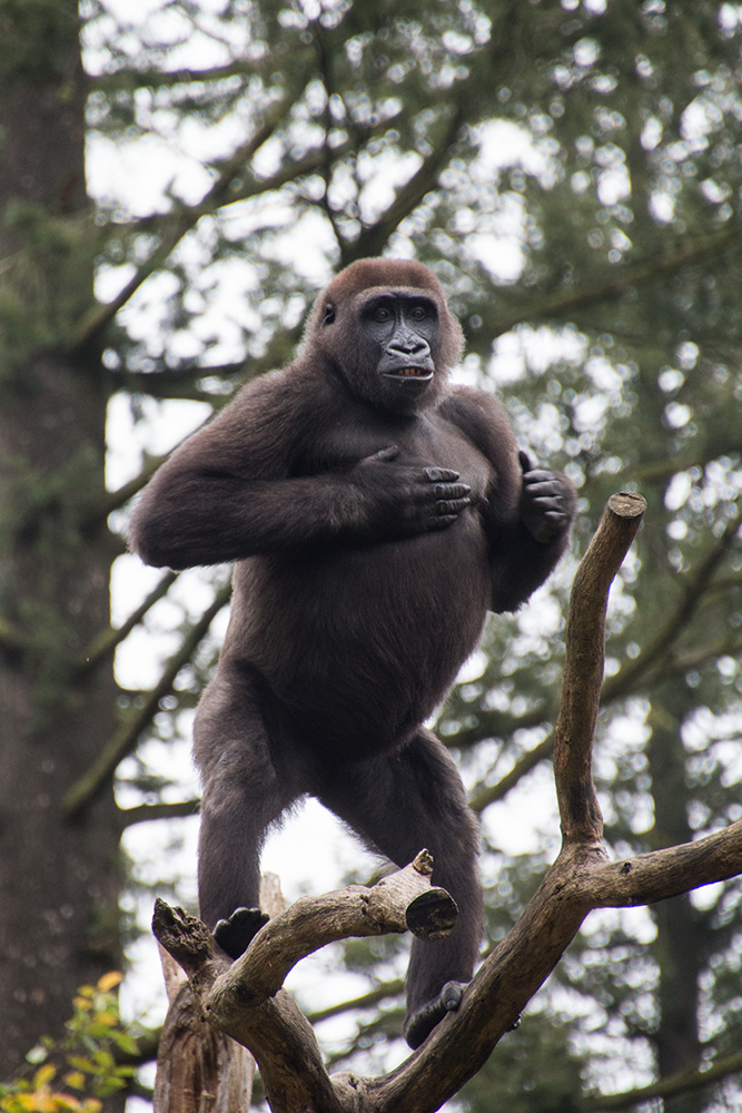 Young gorilla showing off