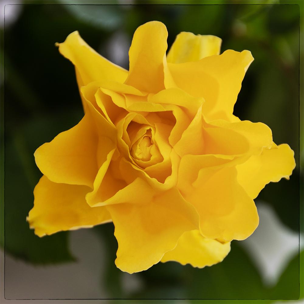 Geel roosje