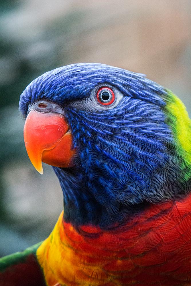 Regenbooglori - Rainbow lorikeet
