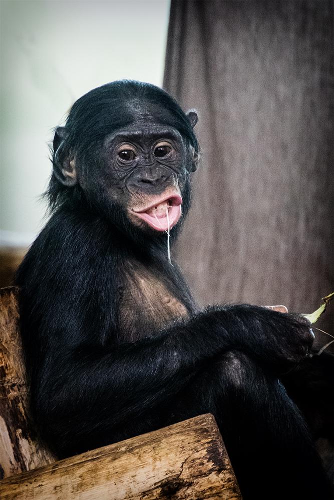 Jonge bonobo met en gek bekkieJonge bonobo met een gek bekkie
