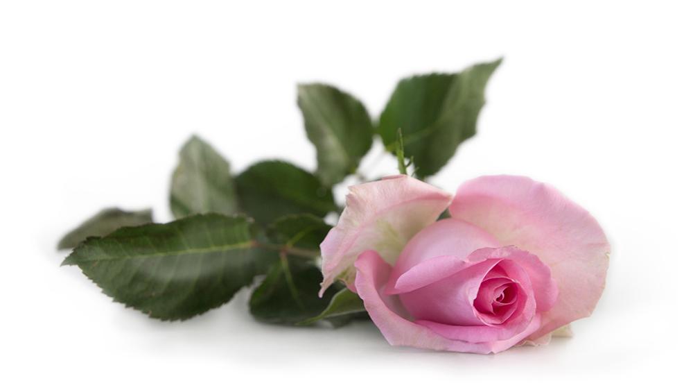 Roos - Rose