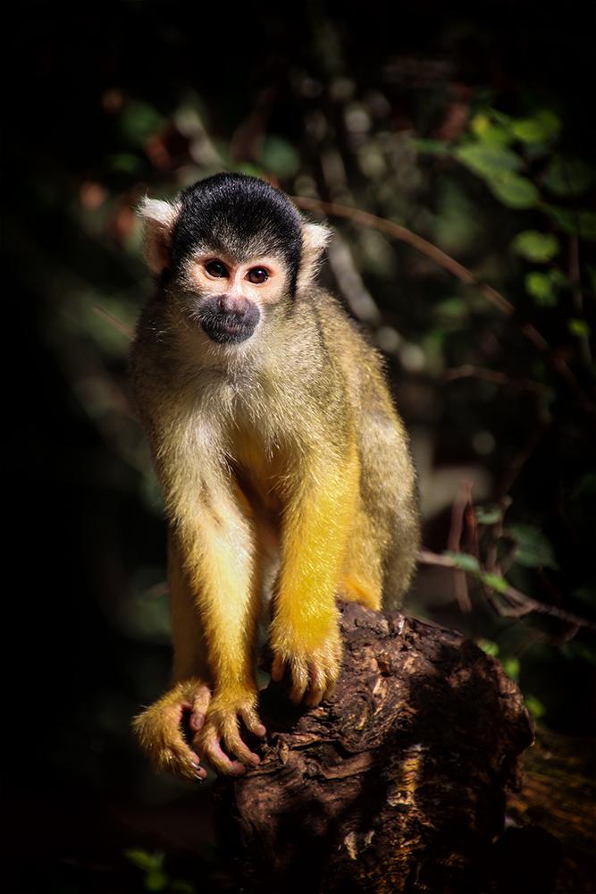 Boliviaanse doodshoofdaapje - Black-capped squirrel monkey