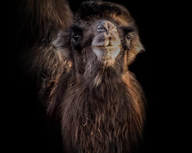 Camel - Kameel