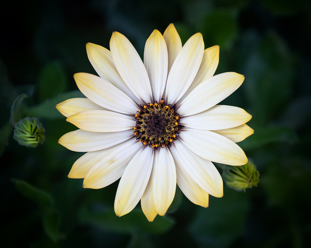 Spaanse margriet - African daisy