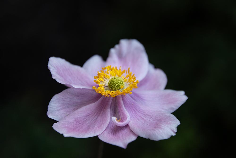 Japan(e)se anemone