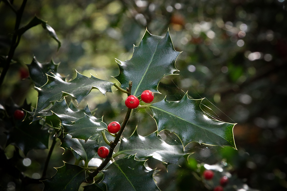 Hulst - Holly