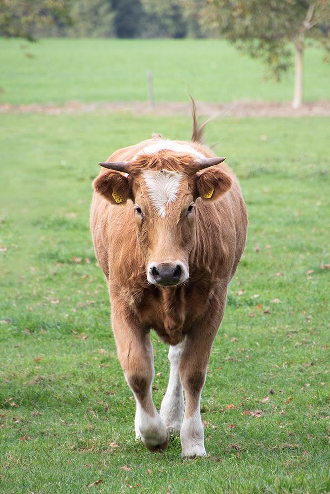 Koe - Cow