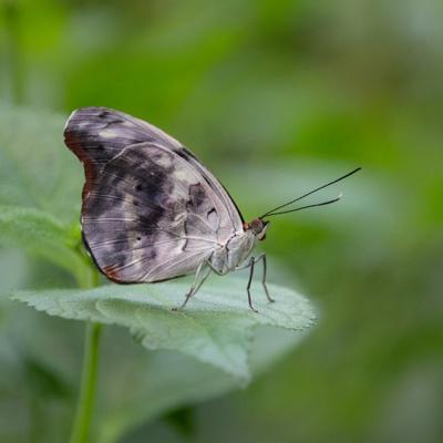 VlinderButterfly