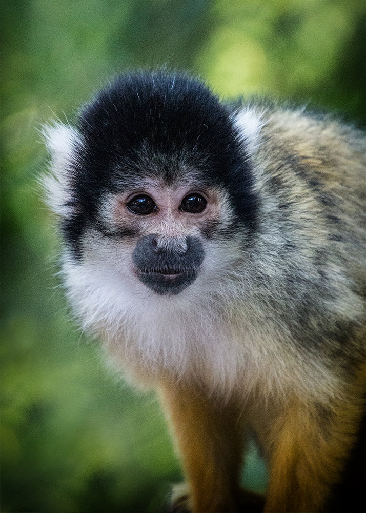 Boliviaanse doodshoofdaapje - Black-capped squirrel monkey