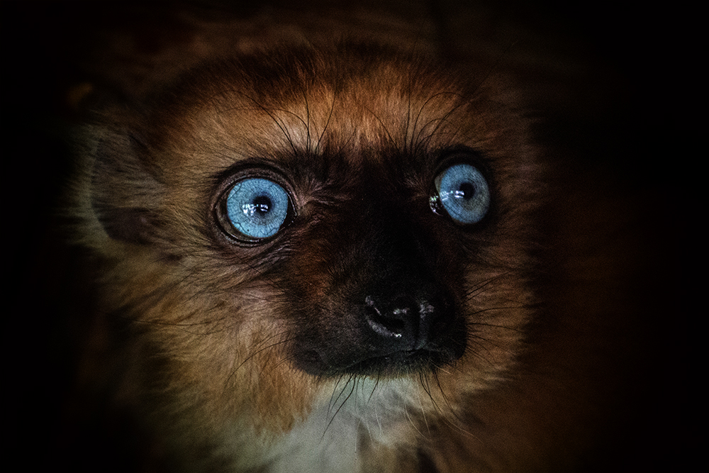 Blauwoog maki - Blue-eyed black lemur