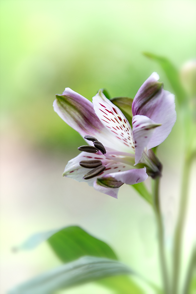 Alstroemeria - Lily of the Incas