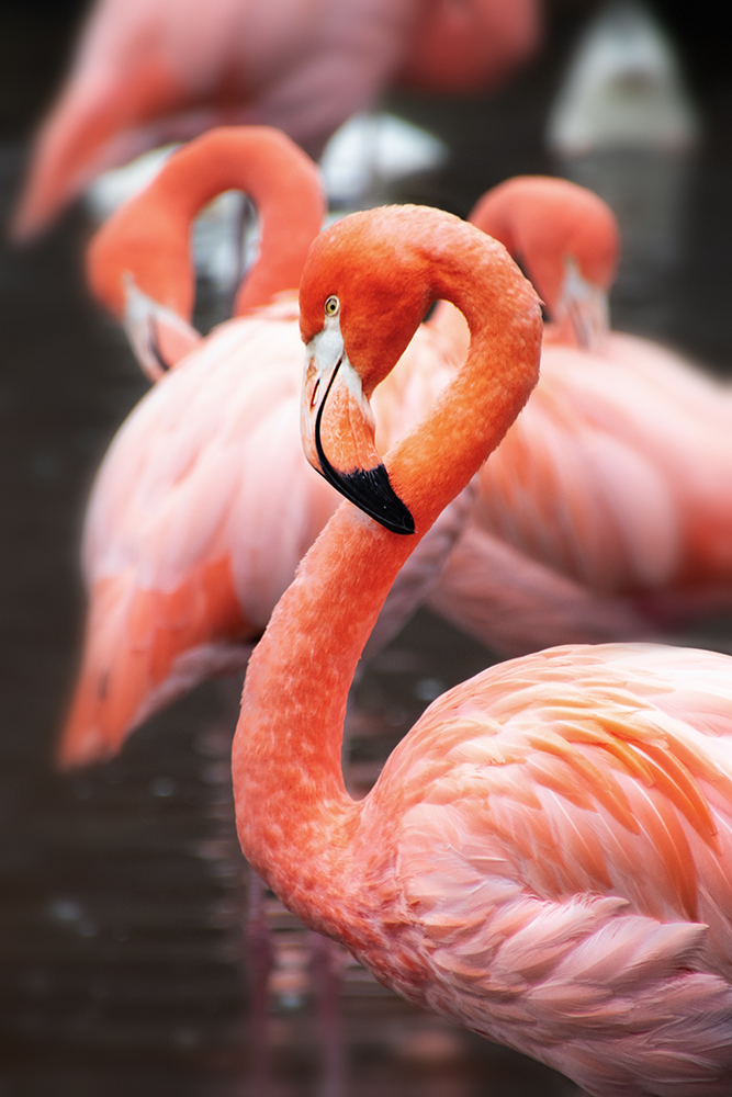 Cubaanse flamingo – American flamingo