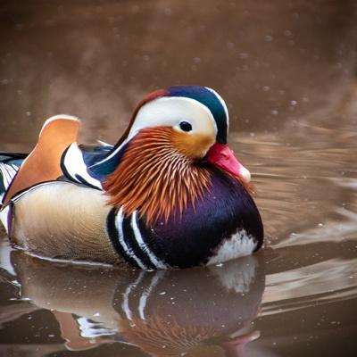 Mandarijneend – Mandarin duck