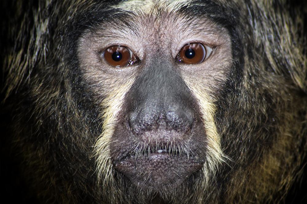Saki - Saki monkey