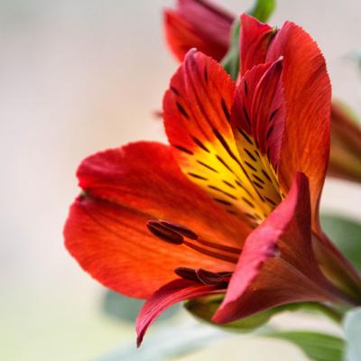 Alstroemeria - Lily of the Incas