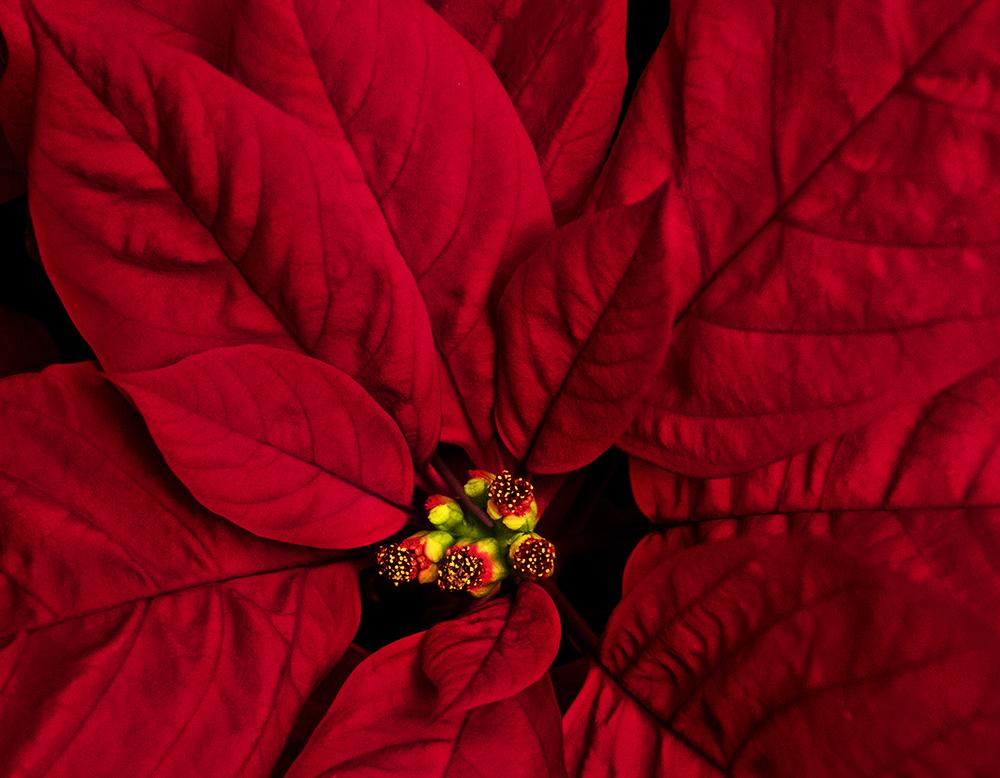 Kerstster - Poinsettia